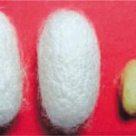 Análisis genéticos revelan detalles de la domesticación de los gusanos de seda