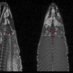 Detectan actividad cerebral en un salmón…¡muerto!