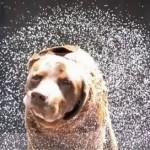 Grabando a cámara lenta la física de cómo los animales se sacuden para secarse