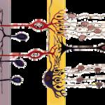 """""""Fallos"""" de la evolución (III): nuestra retina mira hacia la nuca, no hacia adelante"""