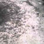 """La espiral de la muerte: el espectacular """"bug"""" de las hormigas"""